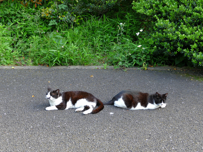 お尻を向け合ってる黒白猫1