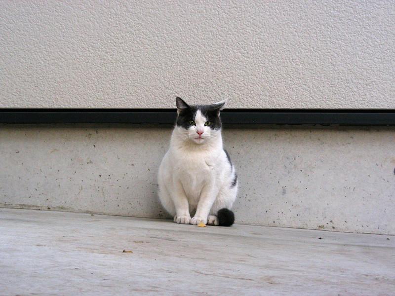 白壁前のグレー白猫1