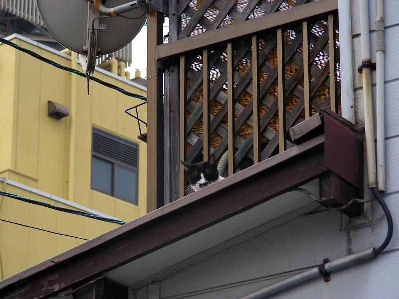 屋根の上からずっと見ている黒白猫