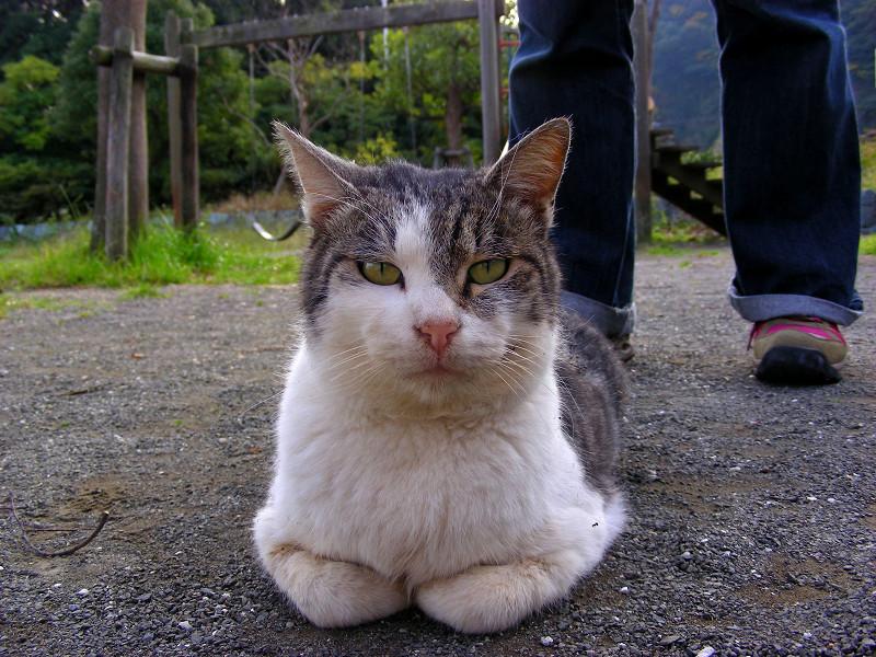香箱のグレー白猫