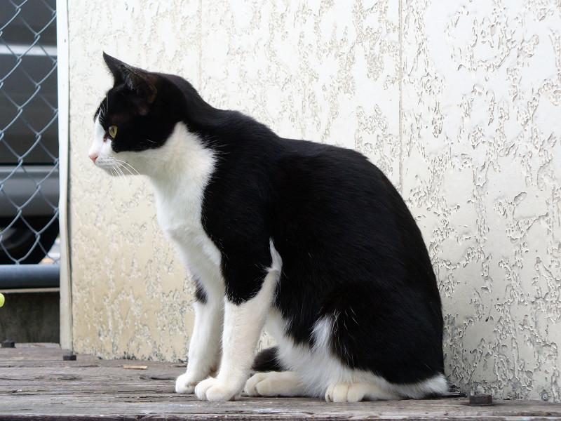 白壁と黒白猫1