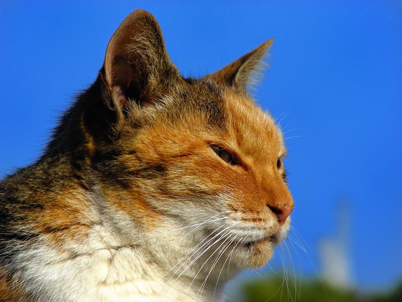 三毛猫の横姿3