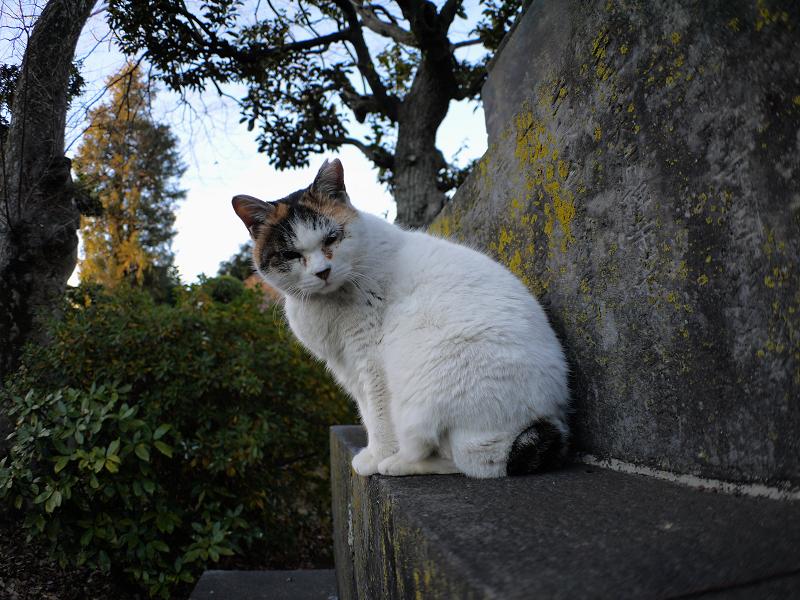 不愉快顔の白三毛猫1