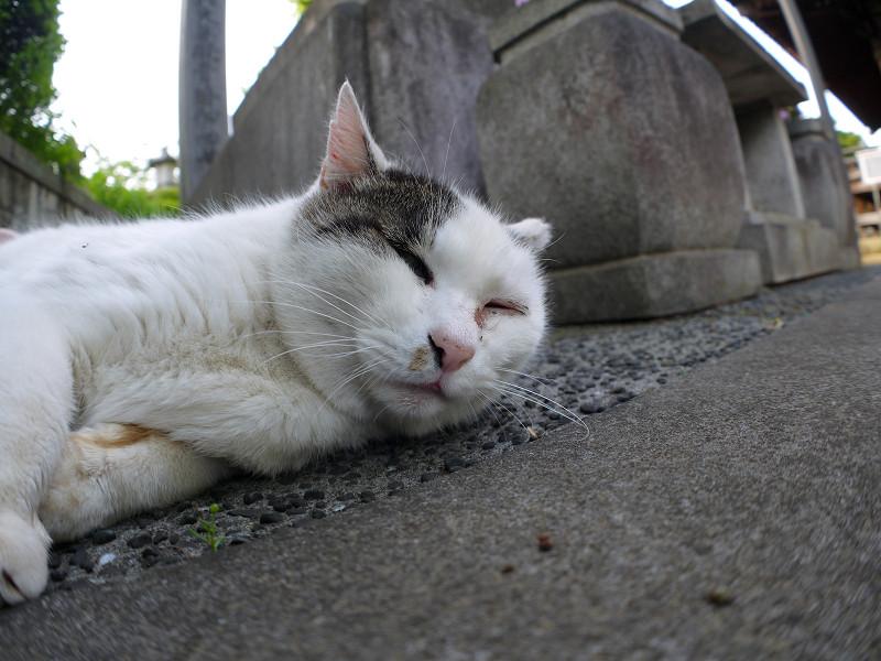 横になった白キジ猫1