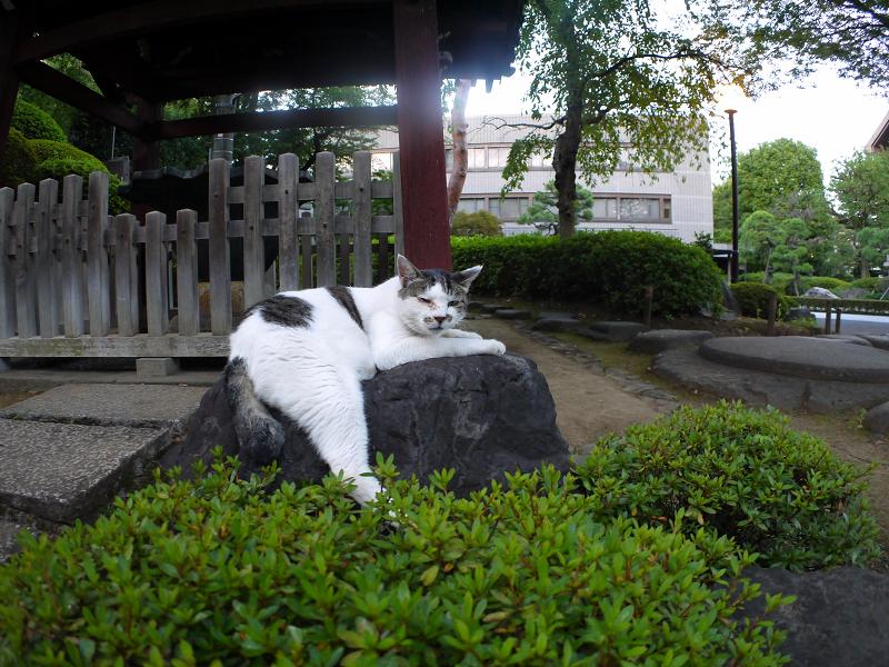 岩の上の白キジ猫1