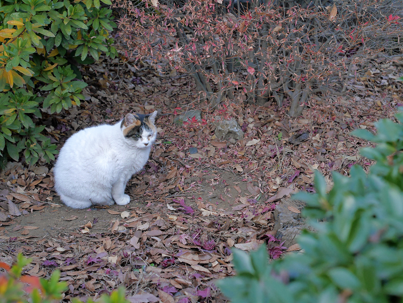 不愉快顔の白三毛猫2