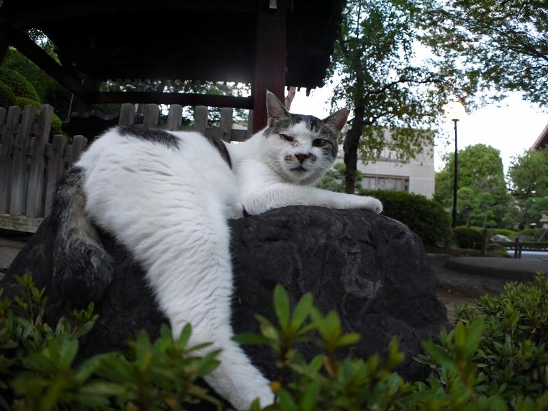 岩の上の白キジ猫2