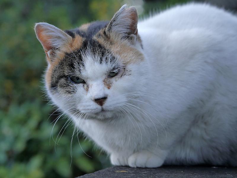 不愉快顔の白三毛猫3