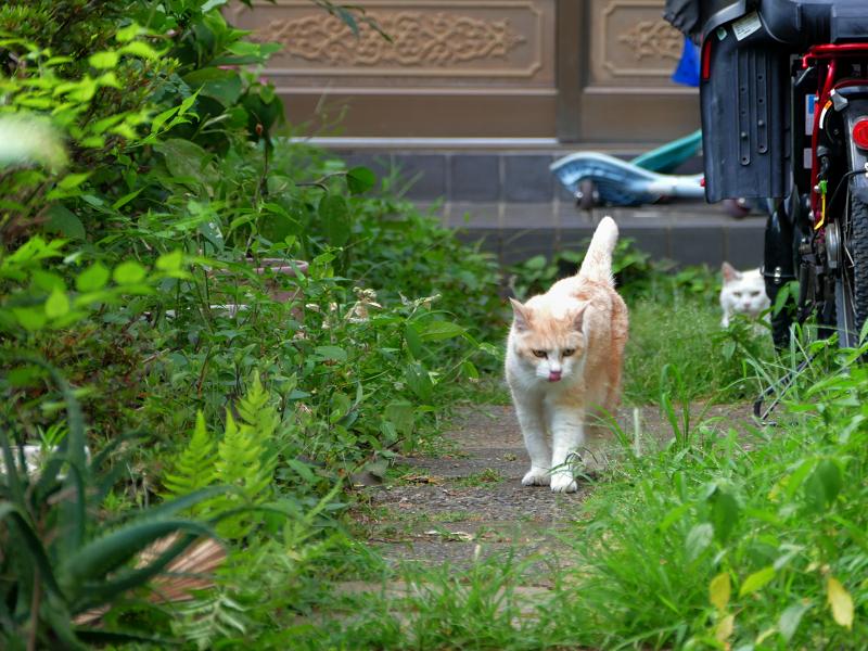 玄関道を歩いて来る茶系の猫1