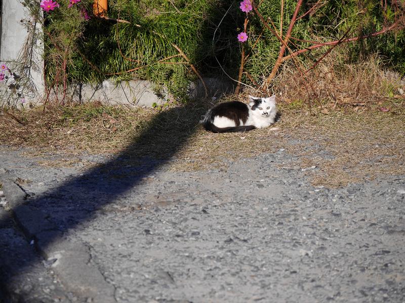 砂利の駐車場と毛長の白黒猫1
