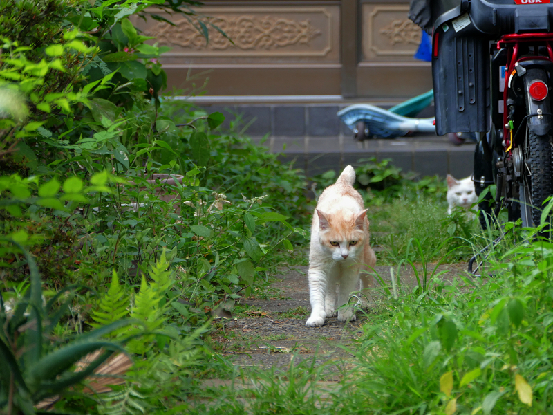 玄関道を歩いて来る茶系の猫2