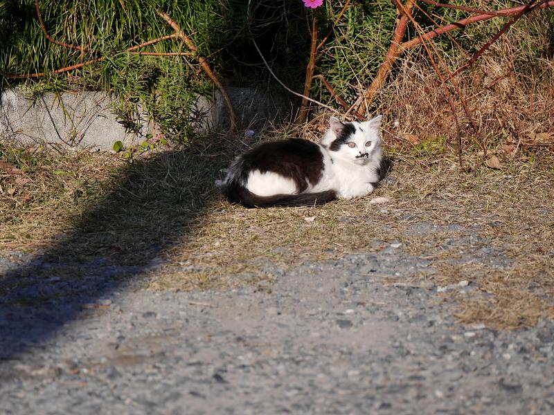 砂利の駐車場と毛長の白黒猫2