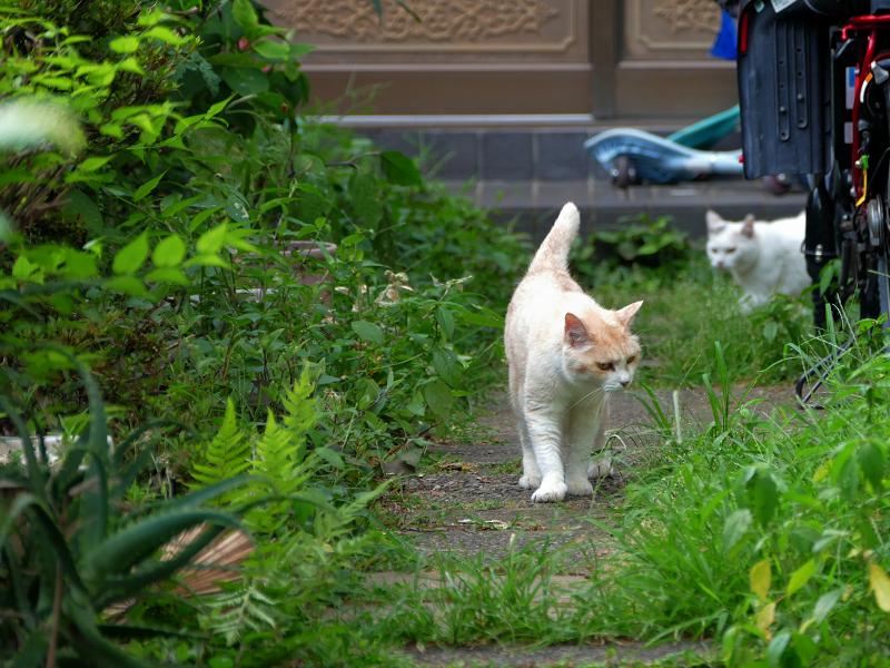 玄関道を歩いて来る茶系の猫3