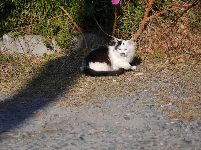 砂利の駐車場と毛長の白黒猫3