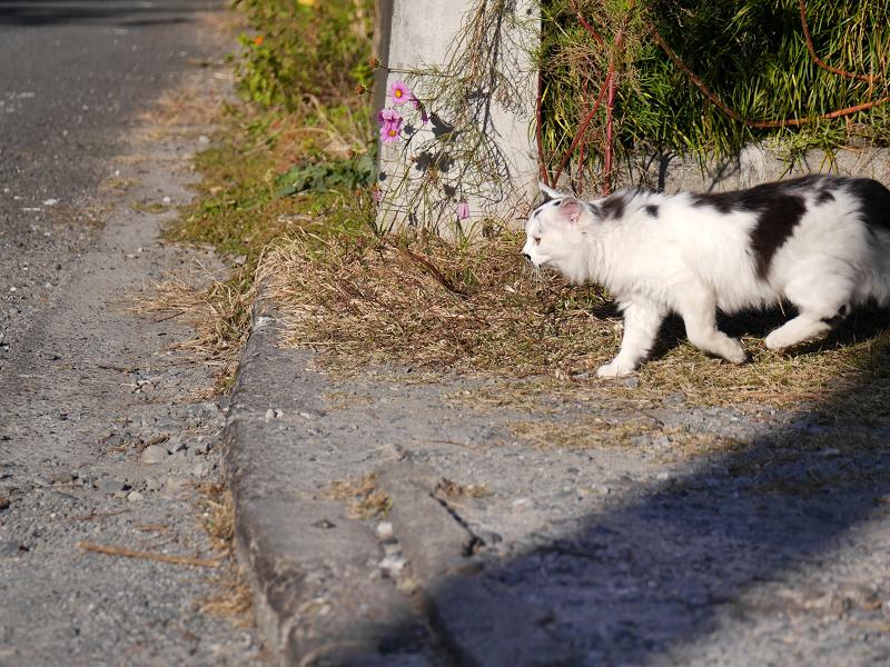 砂利の駐車場と毛長の白黒猫4