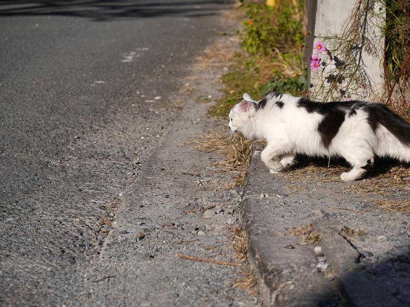 砂利の駐車場と毛長の白黒猫5