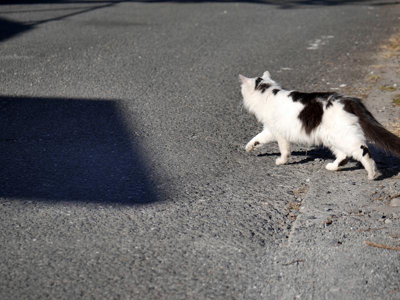 砂利の駐車場と毛長の白黒猫6