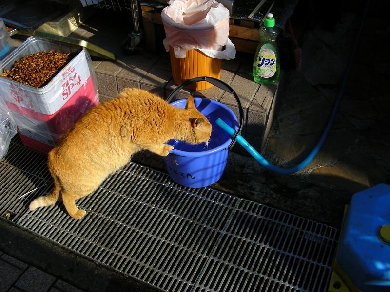 バケツの水を飲む茶トラ猫1