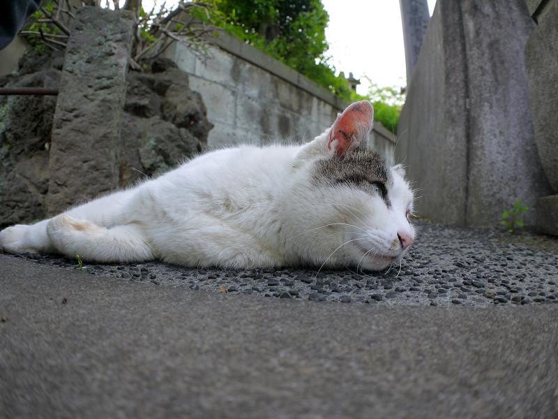 横向いて寝ている白キジ猫
