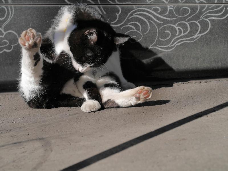 ベロ出し毛繕いの黒白猫1
