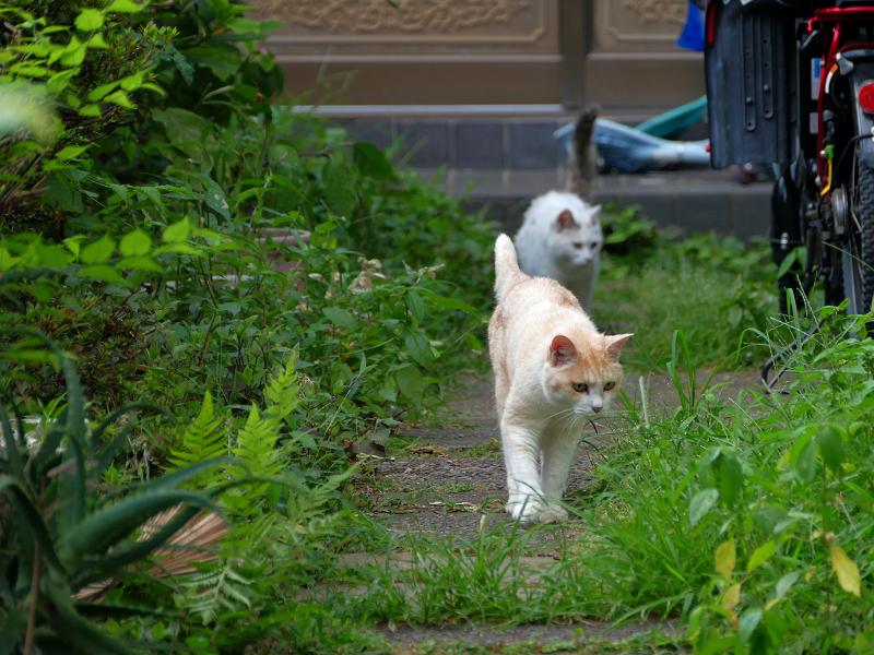 玄関道を走る猫1