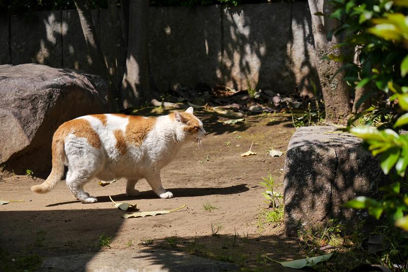 鳴きながら歩く白茶猫1