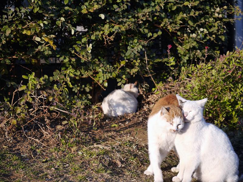 体を擦り付ける白茶猫2