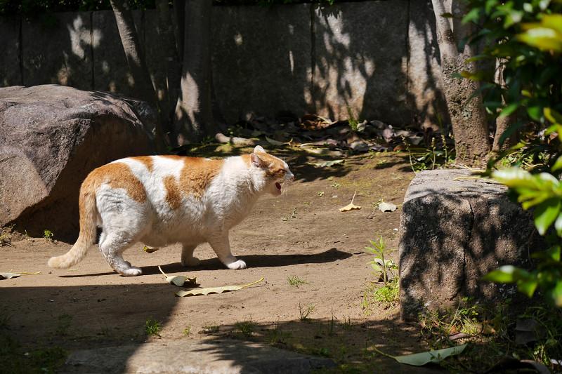 鳴きながら歩く白茶猫2