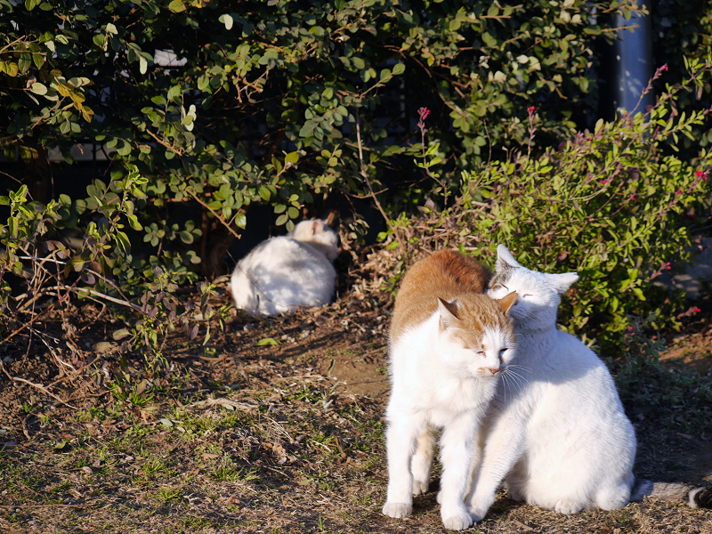体を擦り付ける白茶猫3