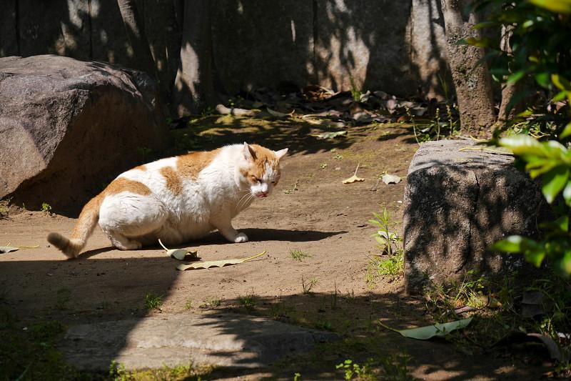 鳴きながら歩く白茶猫3
