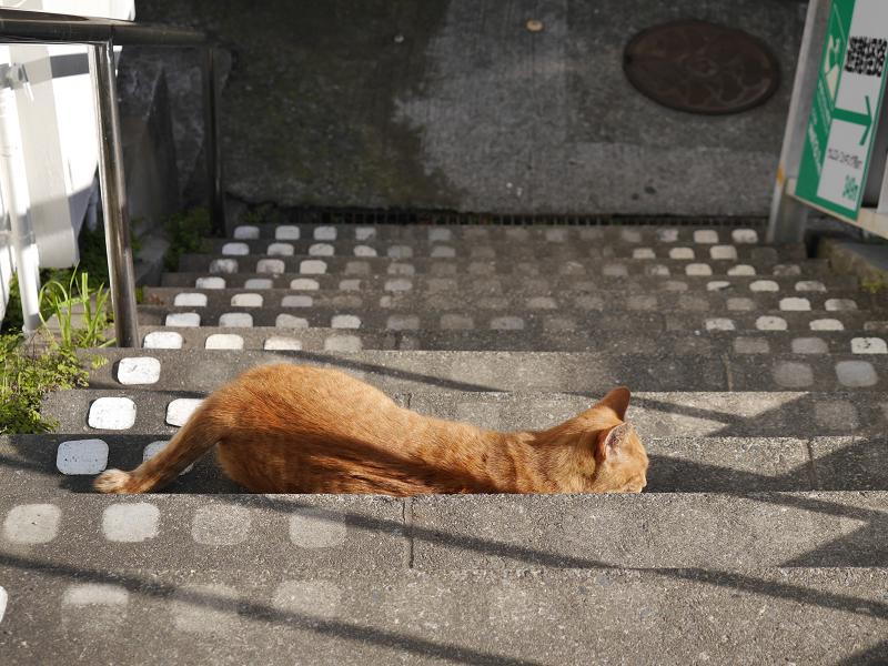 階段から起き上がる茶トラ猫1