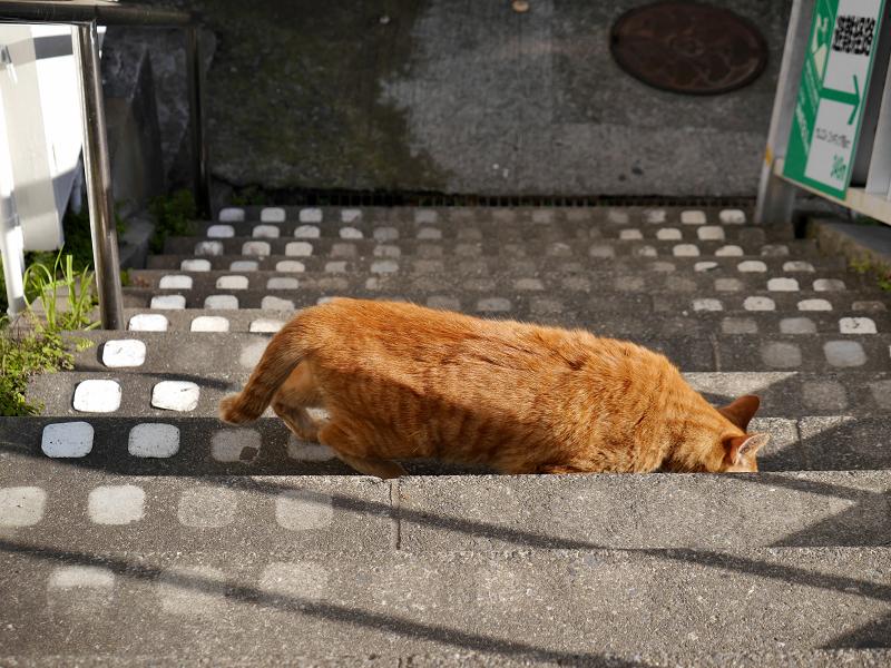 階段から起き上がる茶トラ猫3