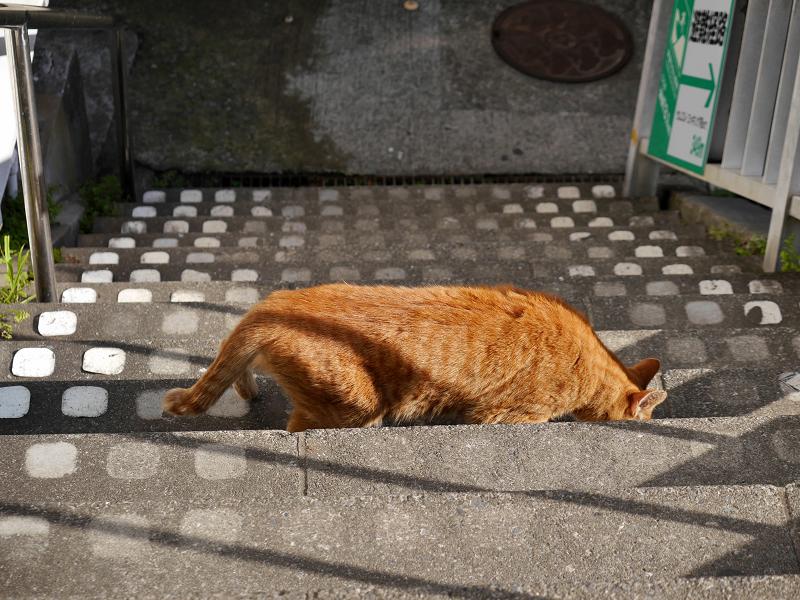 階段から起き上がる茶トラ猫4