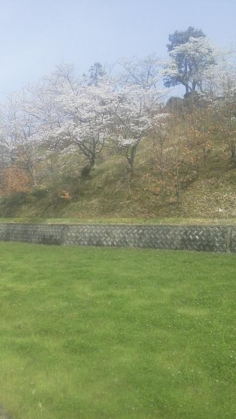 桜とレンゲ