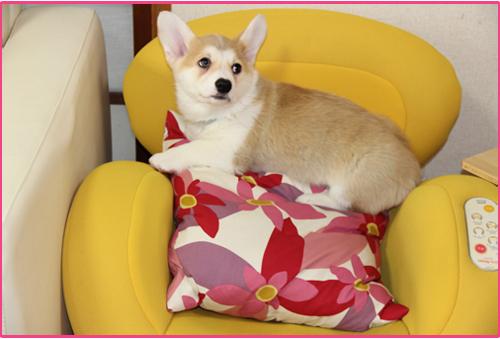 ルフィ2ヶ月黄椅子