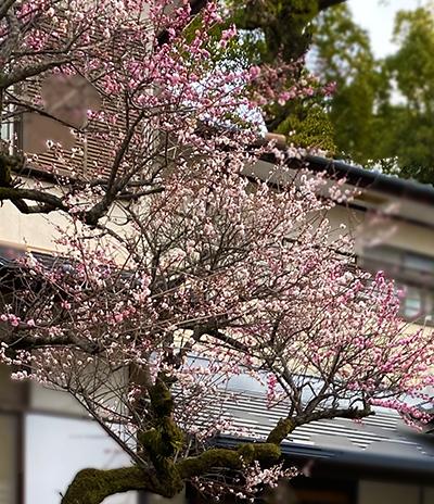 梅の老木全体