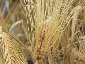 Rojo barley