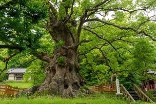 gamo-Camphor tree