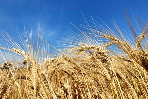 Nijo barley