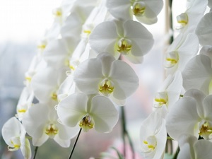 Western orchid