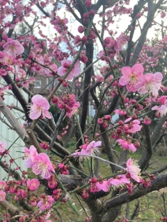 家主様宅の梅の花_02