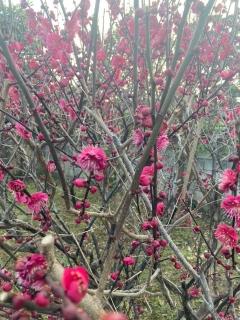 家主様宅の梅の花_03