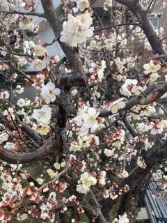 家主様宅の梅の花_01