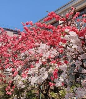 新百合ヶ丘周辺の春_03