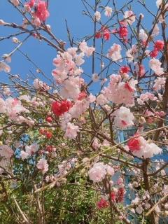 新百合ヶ丘周辺の春_02