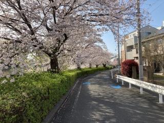 二ヶ領用水沿いの桜_03