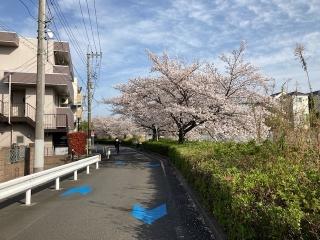 二ヶ領用水沿いの桜_05