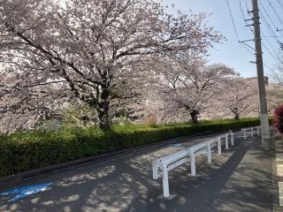 二ヶ領用水沿いの桜_01