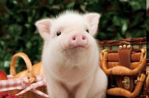 【悲報】ニシキヘビ捕獲作戦、本格始動 子豚ちゃんを生贄にするらしい
