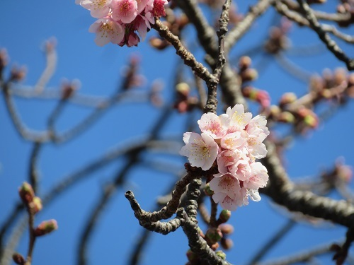 2021 1 25 早咲桜